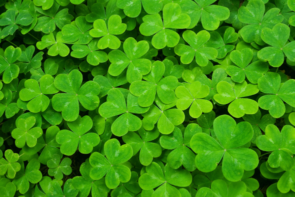 making your own luck my hunt for a suitable four leaf clover a