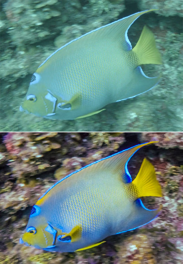 Queen angel fish before and after.