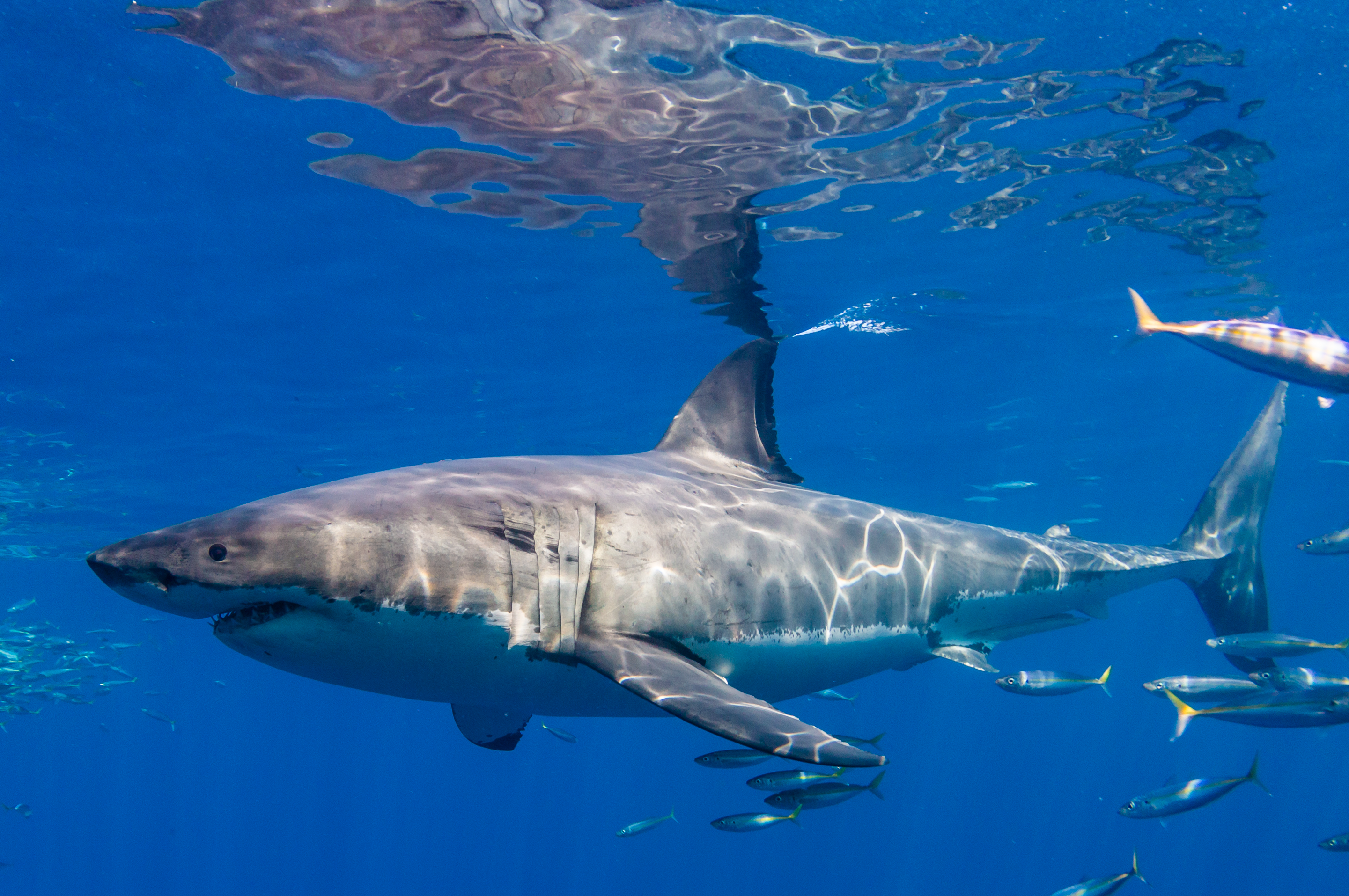 Profile of a crazy awesome great white shark