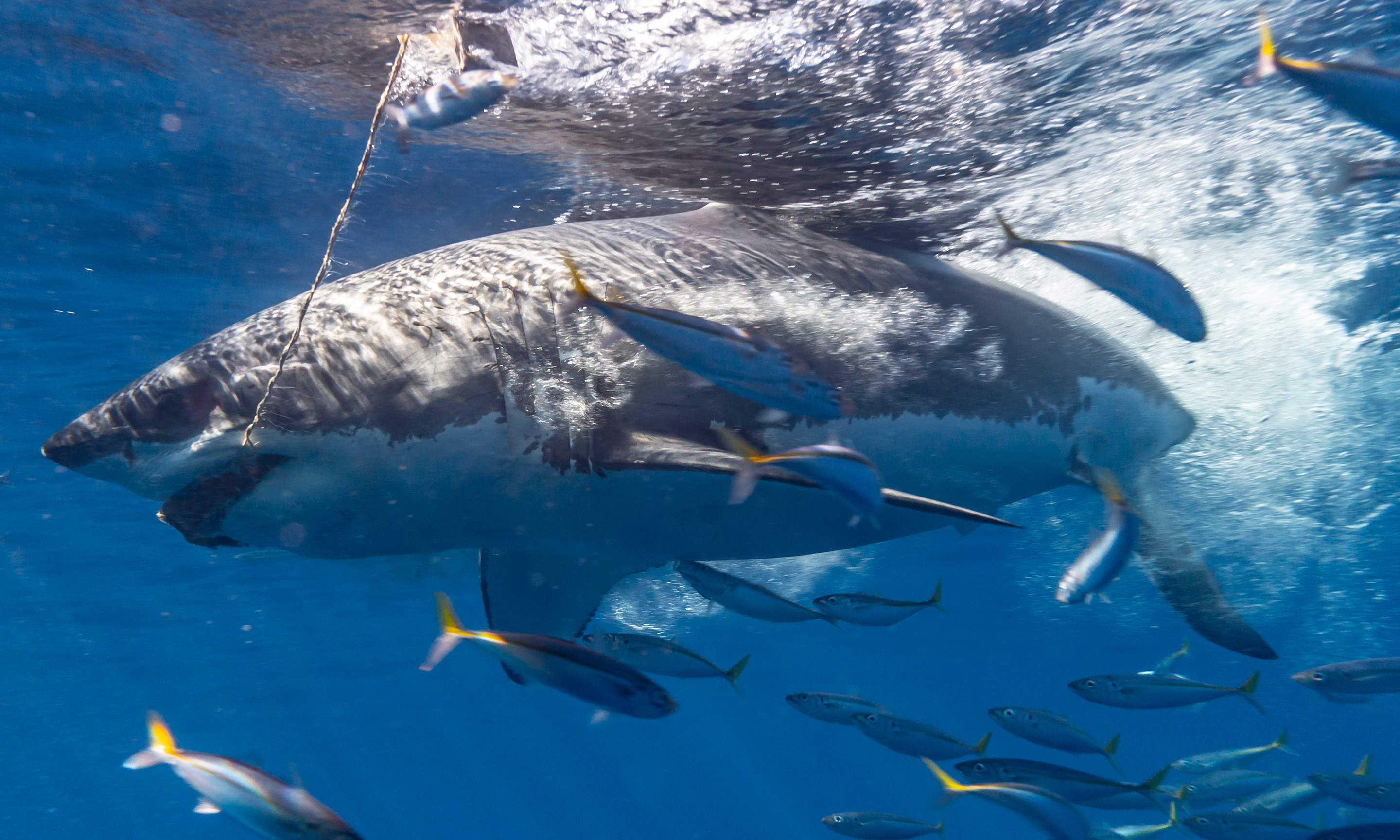 A juvenile great white chomps the tuna