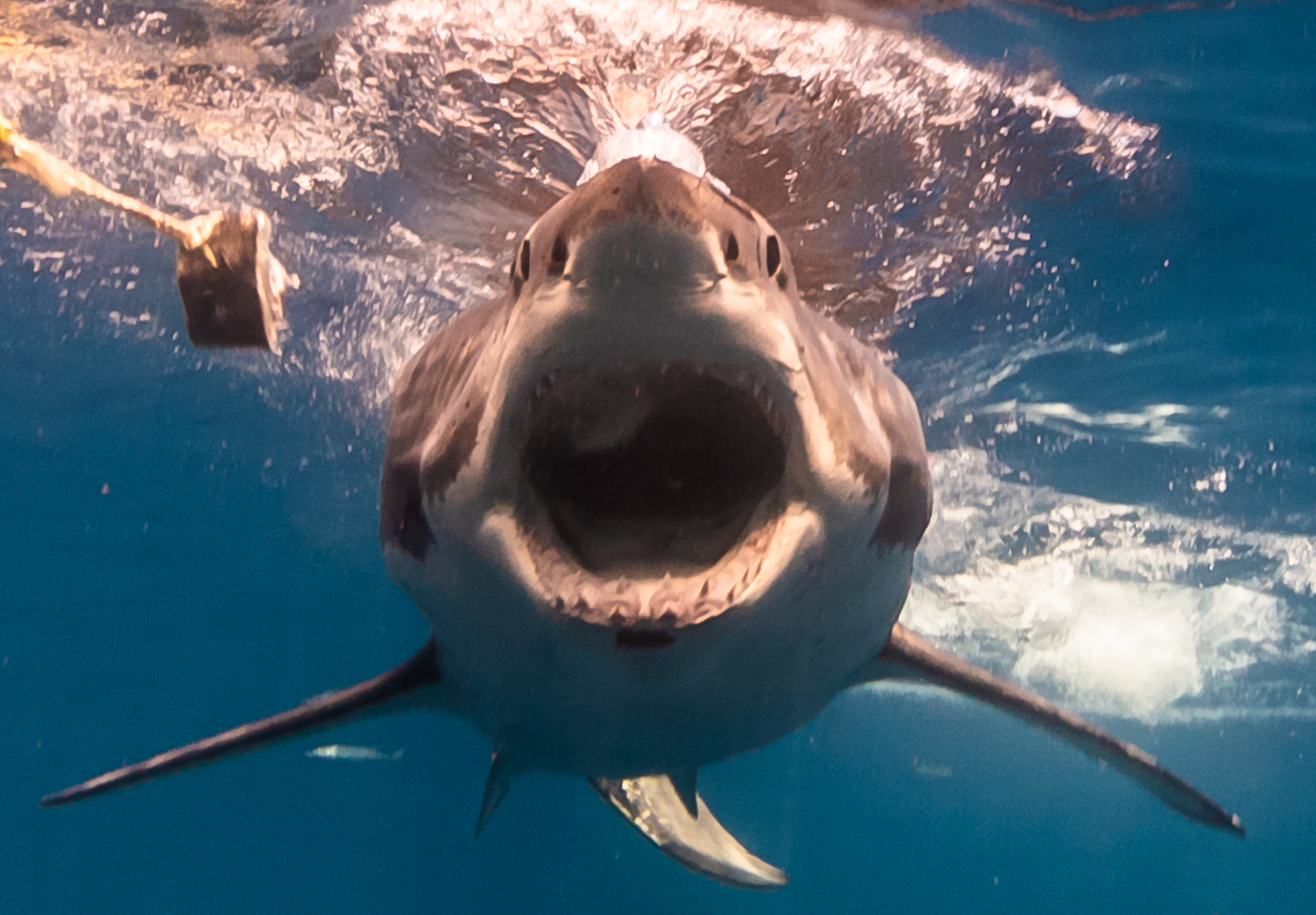 Great white with mouth wide open