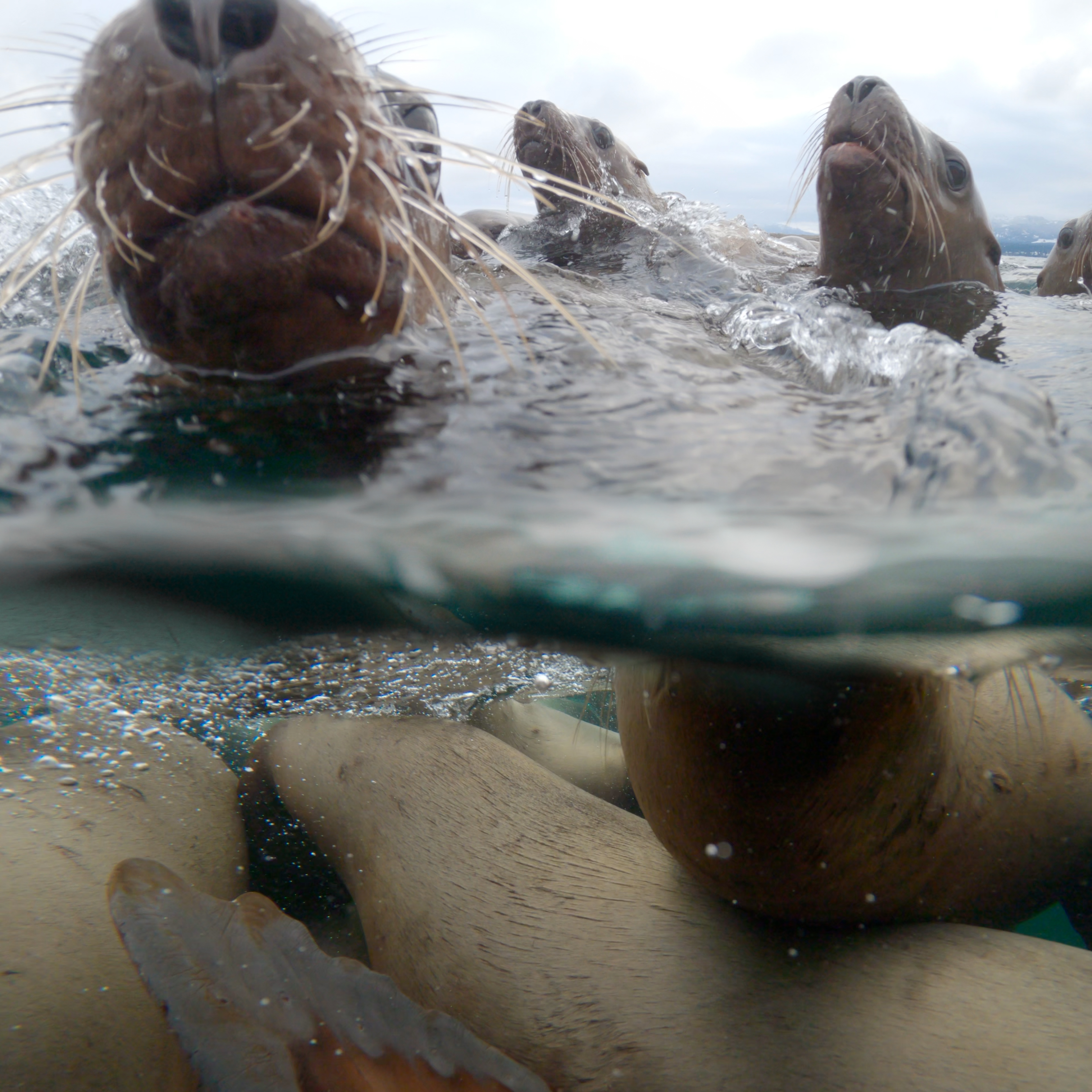 Steller sea lions above and below the water