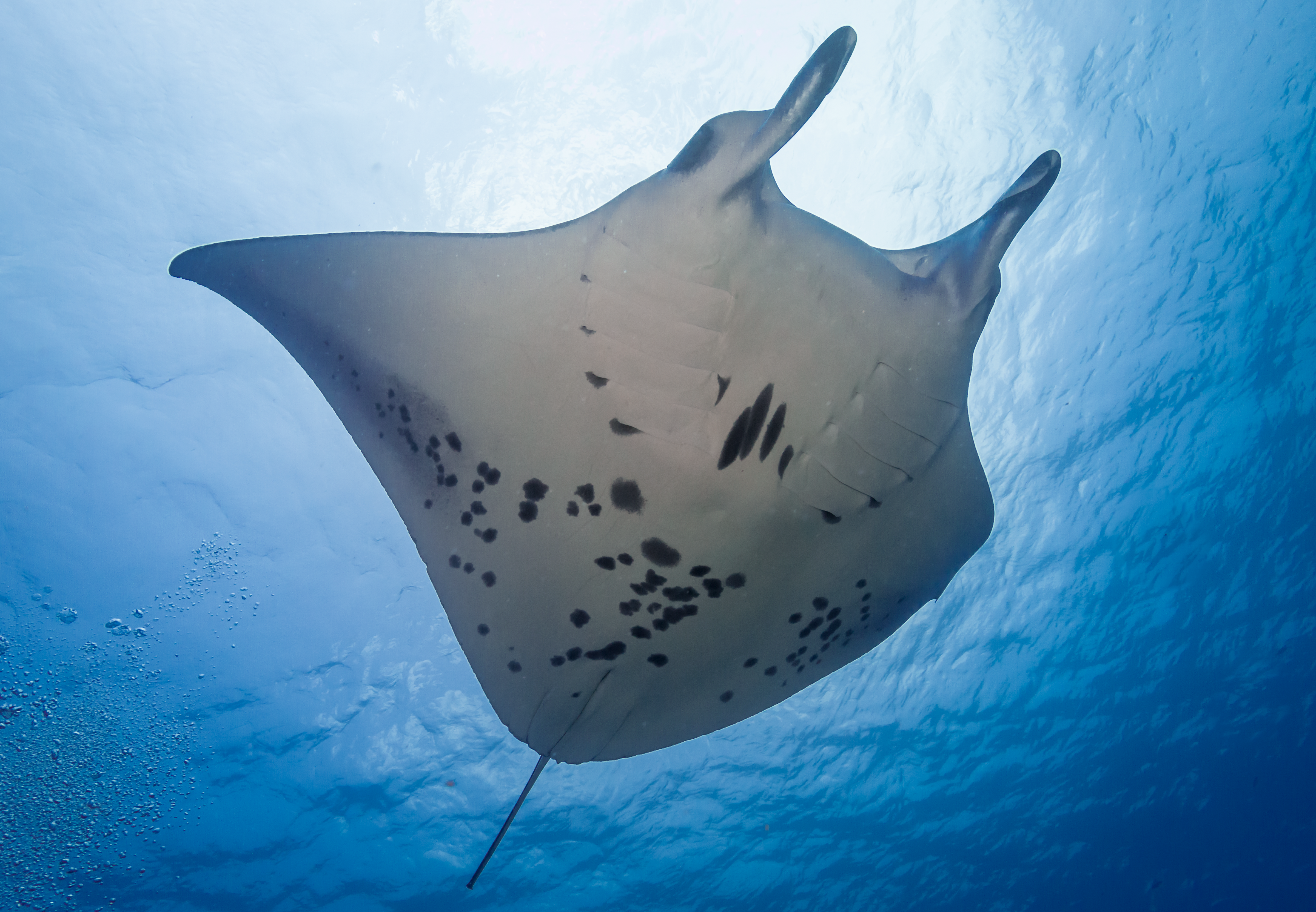 Photo of the underside of a manta ray